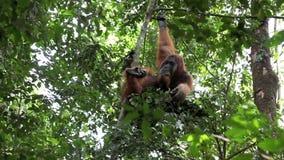 Male orangutan resting in forest tree nest stock video footage