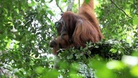 Male orangutan resting in forest tree nest stock footage