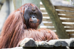 Male Orangutan. Royalty Free Stock Photography