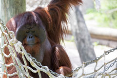 Male Orangutan. Royalty Free Stock Image