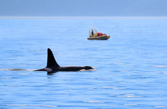 Male Orca Killer whale swimming, with whale watching boat, Victoria, Canada. Male Orca Killer whale swimming, with whale watching boat in the background Stock Photos