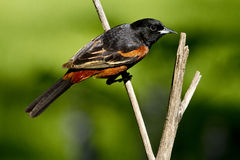 Male orchard oriole Royalty Free Stock Photography