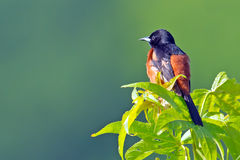 Male Orchard Oriole Royalty Free Stock Photos