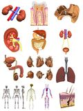 Male organs 12 set Stock Photos