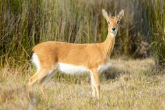 Oribi buck standing in the vedlt. Male Oribi buck, a ram, is standing beautifully for a photograph stock photos
