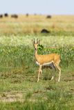 Male Oribi Stock Photos