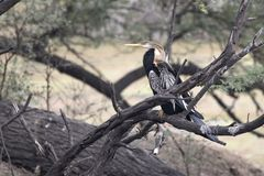 Male Oriental darter who sits on a dry branch of a tree standing Stock Photo