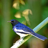 Male Oriental Magpie Robin Royalty Free Stock Photo