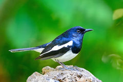 Male Oriental Magpie Robin Stock Images