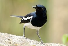 Male oriental magpie-robin Royalty Free Stock Photos