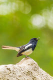 Male Oriental Magpie Robin bird Royalty Free Stock Image