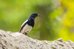 Male Oriental Magpie Robin bird Royalty Free Stock Images