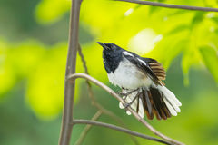Male Oriental Magpie Robin bird Stock Photography