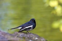 Male Oriental Magpie-Robin,Copsychus saularis Royalty Free Stock Image