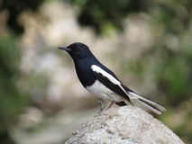 Male Oriental Magpie Robin Stock Photos