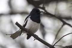 Male Oriental magpie robin sitting on a dry branch at the edge o Stock Photos