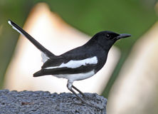 Male oriental magpie-robin in Thailand Royalty Free Stock Photo