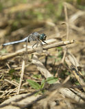 Male Orthetrum brunneum Royalty Free Stock Images