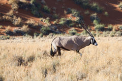 Male Oryx Antelope in the Namib desert Royalty Free Stock Photography