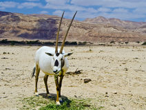 Male of Oryx in the Negev desert, Israel Stock Image