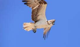 Male osprey bird, Pandion haliaetus Stock Image