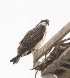 Male osprey bird, Pandion haliaetus Royalty Free Stock Images