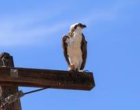 Male osprey bird, Pandion haliaetus Royalty Free Stock Photo