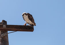 Male osprey bird, Pandion haliaetus Royalty Free Stock Image