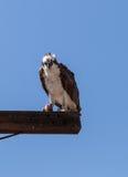 Male osprey bird, Pandion haliaetus Royalty Free Stock Photography