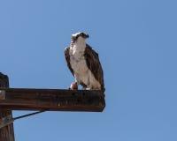 Male osprey bird, Pandion haliaetus Stock Photography