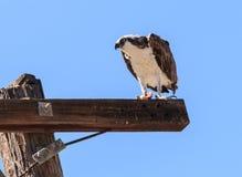 Male osprey bird, Pandion haliaetus Stock Photo