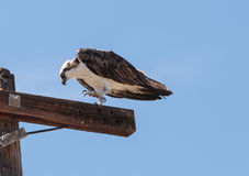 Male osprey bird, Pandion haliaetus Royalty Free Stock Photos