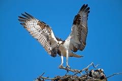 Male Osprey Bringing Sticks for Nest Stock Photo