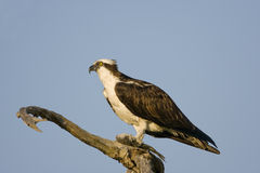 Male Osprey eating a fish in a tree. A Male Osprey eating a fish in a dead tree Stock Image