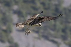 Male osprey feeding on fish and diving royalty free stock photography