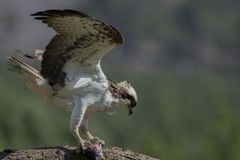 Male osprey feeding on fish and diving royalty free stock photos
