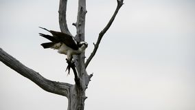 Male Osprey with Fish stock footage