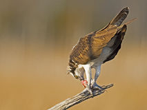 Male Osprey with Fish Stock Photo