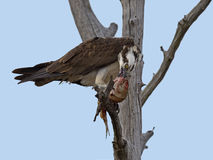 Male Osprey with Fish Stock Photography