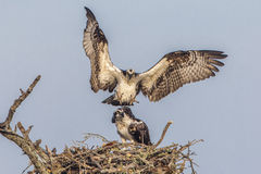 Male Osprey Joining His Mate at Their Nest - Florida Stock Photos