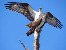 Male Osprey Landing On It`s Mate. Male Landing on It`s Mate Prior to Mating Stock Photos
