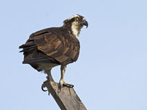 Male Osprey at Nest Stock Image