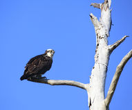 Male Osprey Perched in an Old Dead Tree Royalty Free Stock Images