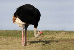 Male Ostrich Royalty Free Stock Photo