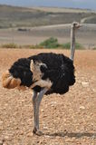 Male ostrich Stock Photography