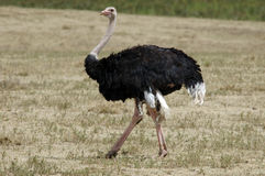 male ostrich Royaltyfria Bilder