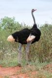 male ostrich Arkivfoto