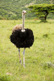 Male ostrich Royalty Free Stock Photos