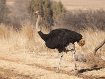 Male Ostrich Stock Photo