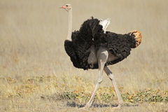 Male ostrich. (Struthio camelus), Kalahari desert,South Africa Stock Image